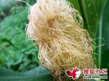 玉米须的功效与作用及食用方法(生姜加玉米须的功效与作用)