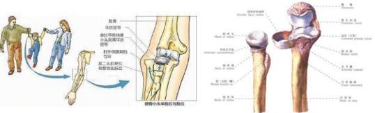 桡骨是哪个部位图片(桡骨茎突狭窄性腱鞘炎怎么治疗)
